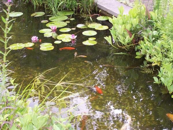 Vissen en waterlelies. Foto: Waterlijn Amersfoort