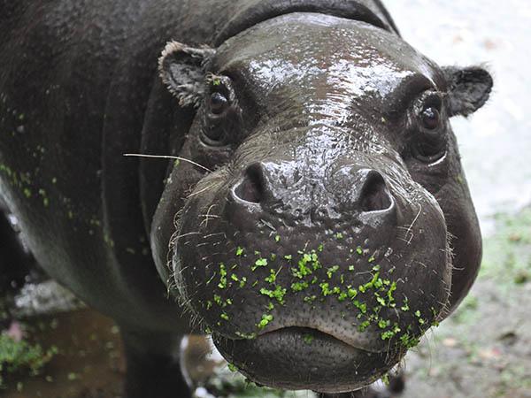 Een dwergnijlpaard in GaiaZOO.