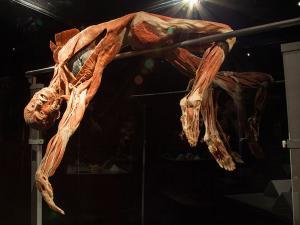 Bekijk echte lichamen, zoals deze hoogspringer. Foto: BODY WORLDS.