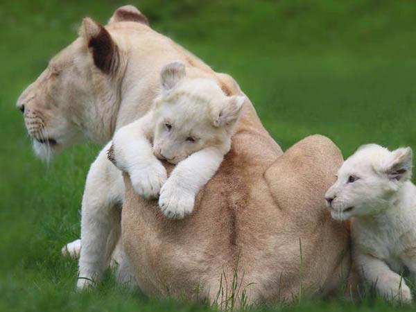 Zeldzame witte leeuwen.