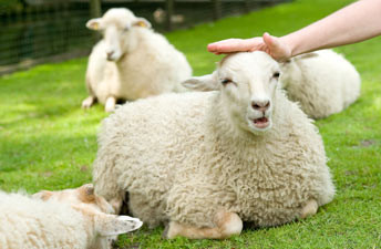 Aai de schapen.