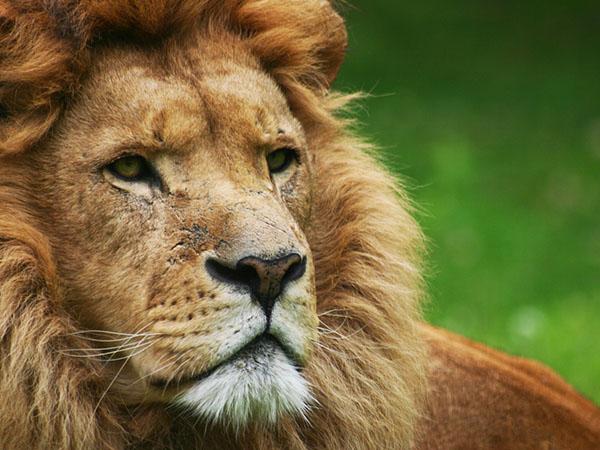 Ontmoet leeuw Ashrad in GaiaZOO.