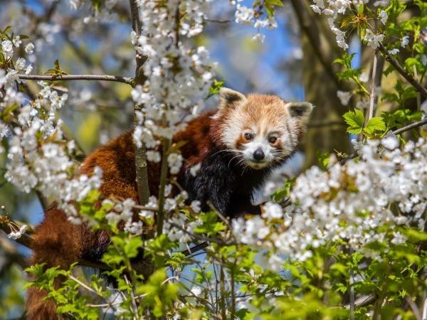 Bewonder rode panda's.