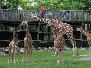 Wandel op ooghoogte van de giraffen. Foto: Diergaarde Blijdorp © Rob Doolaard.