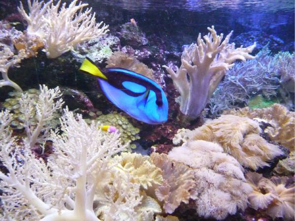 Is dat niet Dory uit Finding Nemo? Foto: Aqua Zoo