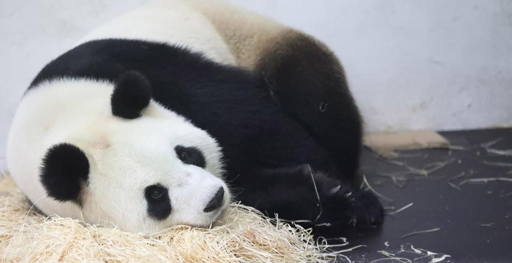 Trotse panda. Foto: Pairi Daiza.