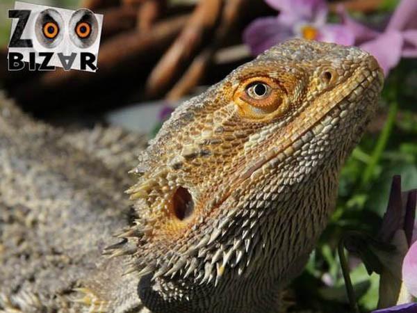 Een baardagaam. Foto: Zoo Bizar.